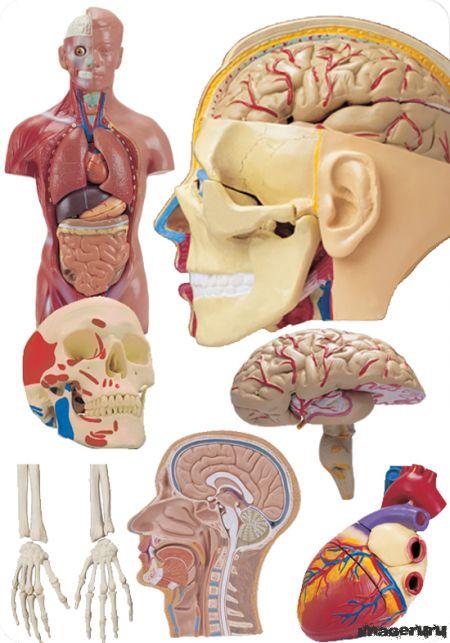 Тело и органы человека