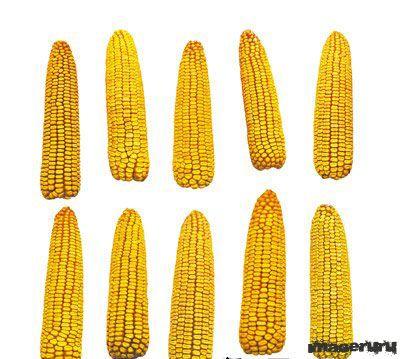 Кукуруза в PSD