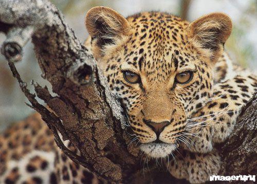 Дикие животные - тигры, львы, ягуары