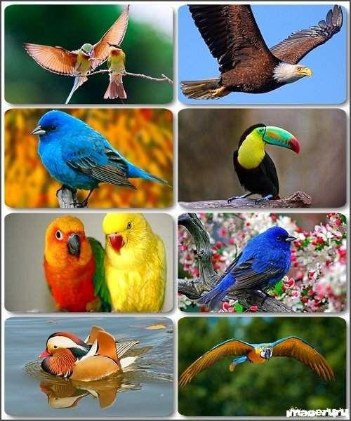 Птицы - обои на рабочий стол