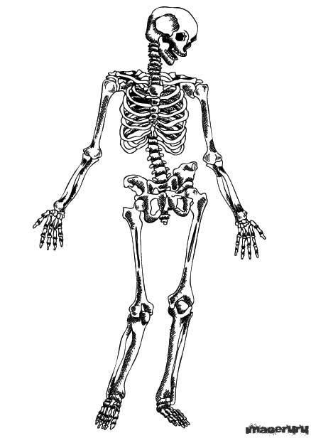 Нарисованный от руки скелет